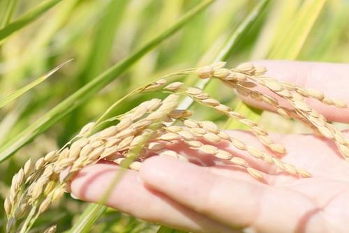 ピロール農法米ハッピーロールとは?